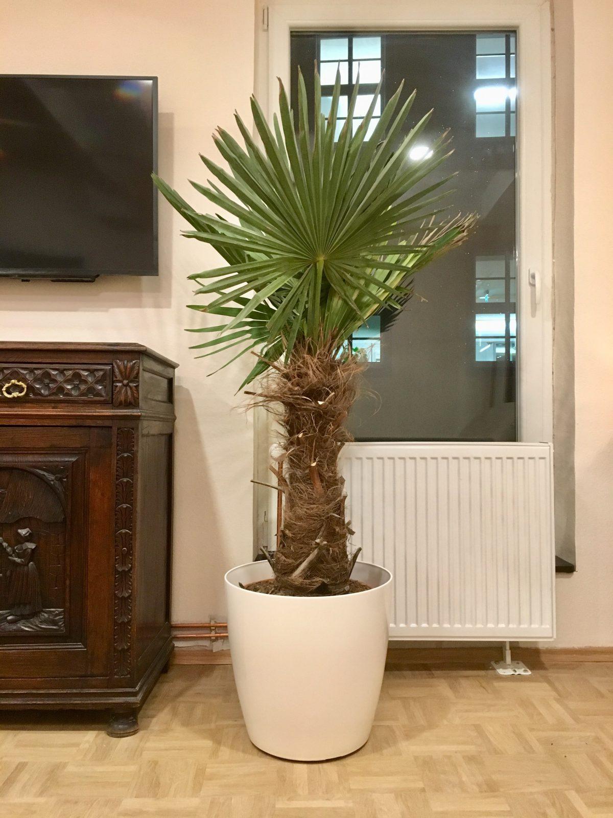 Die palme ist im wohnzimmer angekommen blaues haus berlin - Palme wohnzimmer ...